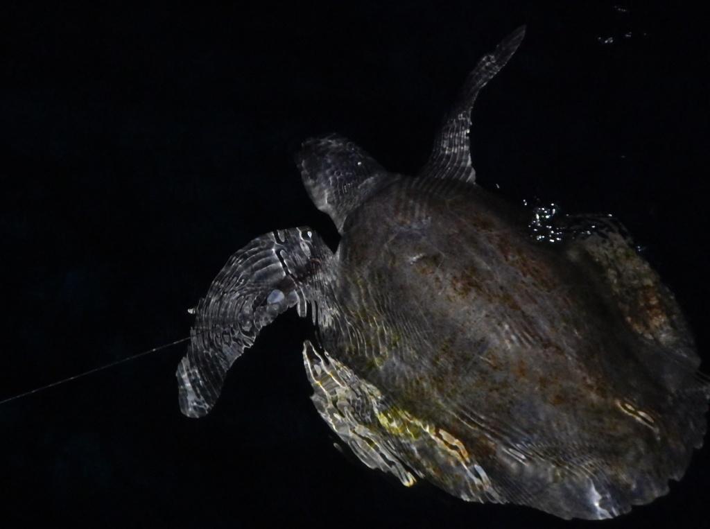 Turtle on the Hook :-(