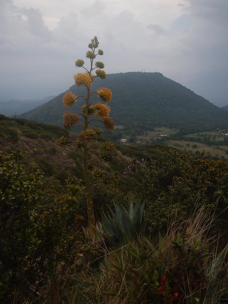 Maguey Flower near Cerro Verde
