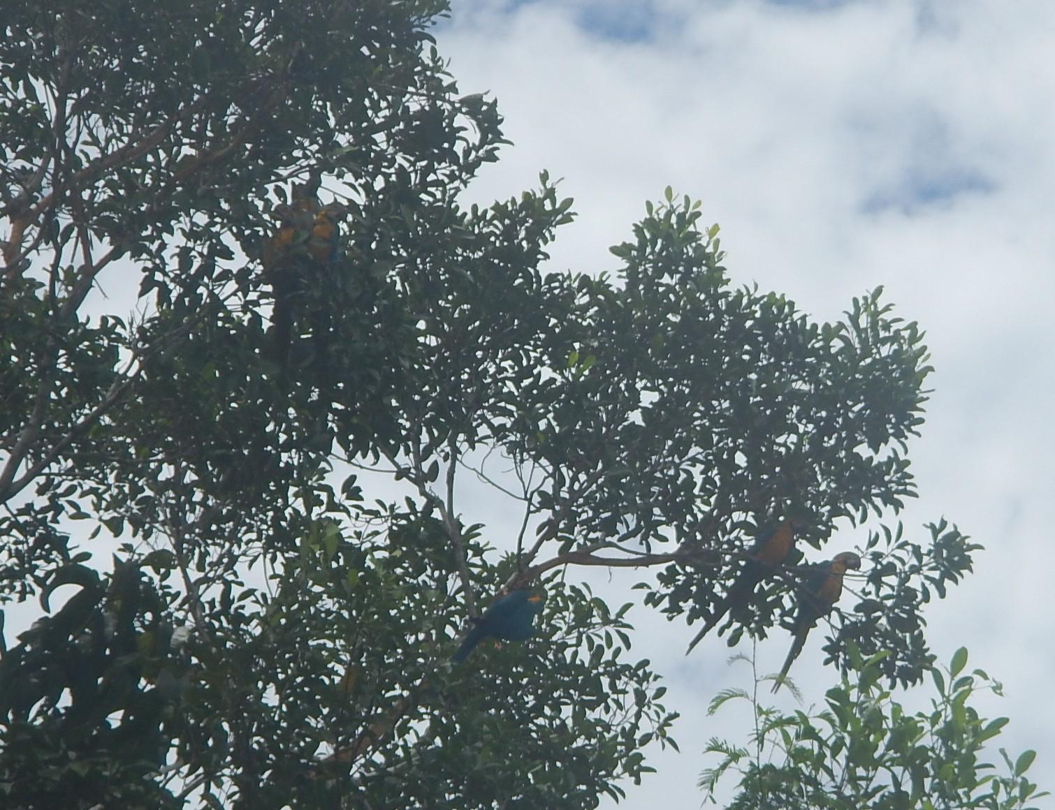 Hyacinth Macaws Overhead