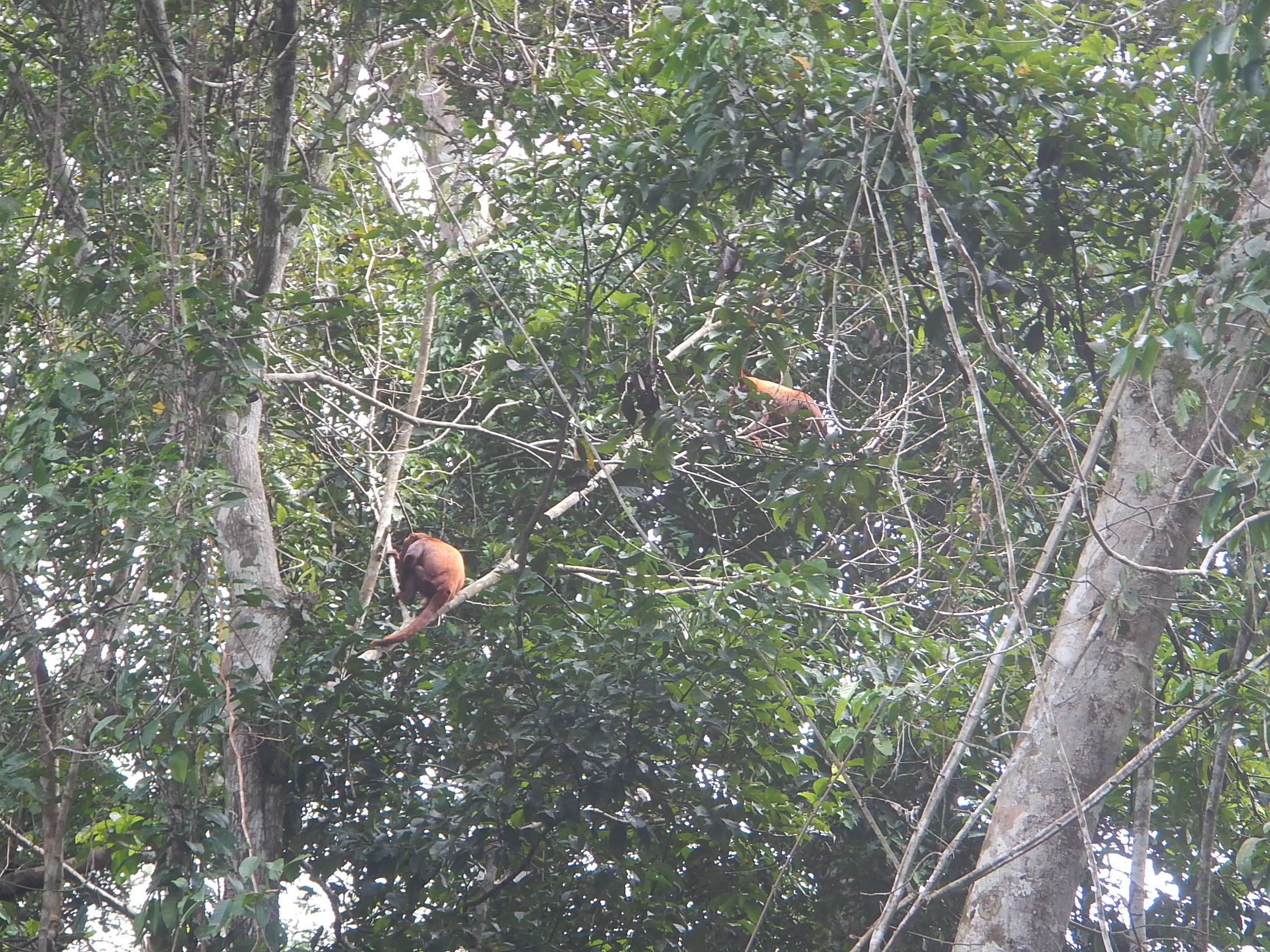 Monos Rojos