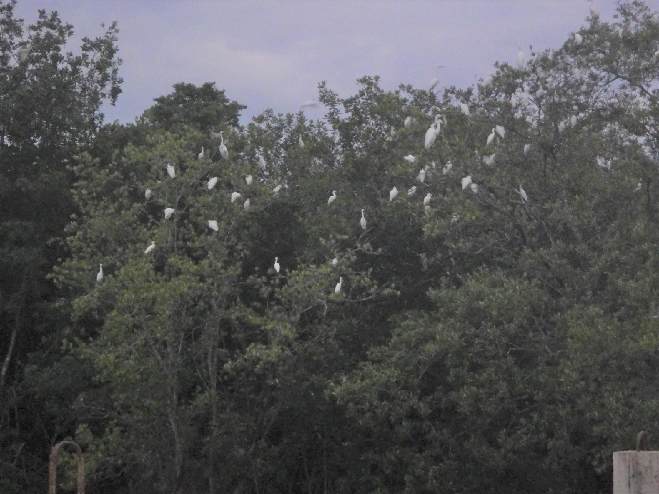 Egrets of Paradise